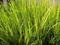 Аир травянистый желтолистный