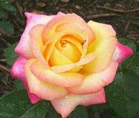 Роза чайно-гибридная - Peace