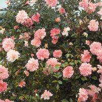 Роза гибридная 'Francois Juranville'