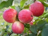Яблоня «Мечта»