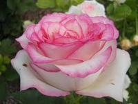 """Роза чайно-гибридная """"Дольче Вита"""""""