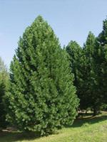 Сосна Кедровая 80-90