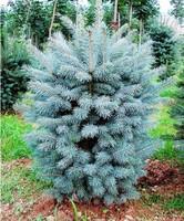 """Ель колючая """"Super Blue Seedling""""  80-100"""