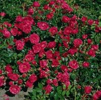 Роза почвопокровная в ассортименте