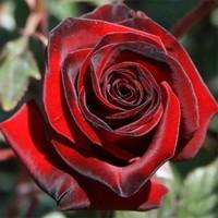 "Роза чайно-гибридная ""Блэк Мэджик"""
