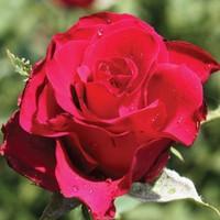 """Роза чайно-гибридная """"Форевер янг"""""""
