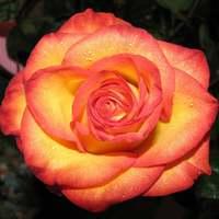 """Роза чайно-гибридная """"Высший свет"""""""
