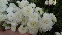Роза полиантовая  'White Fairy'