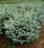"""Ель колючая """"Super Blue Seedling""""  140-160"""