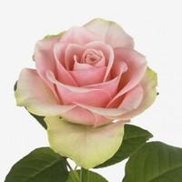 """Роза чайно-гибридная """"Ла Белль"""""""