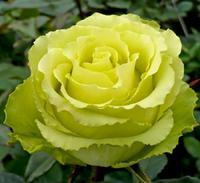 """Роза чайно-гибридная """"Лимбо"""""""