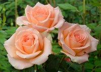 """Роза чайно-гибридная """"Версилия"""""""