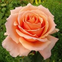 """Роза чайно-гибридная """"Примадонна"""""""