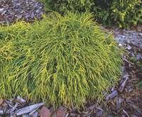 Кипарисовик горохоплодный  «Sungold» 70-80 см